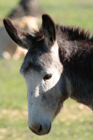 portrait head of an donkey in the nature of grass backscatter Stock Photo - 11716083