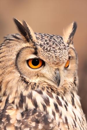 lechuzas: retrato de búho reales ojos de color naranja que penetran en la mirada vertical y aislada