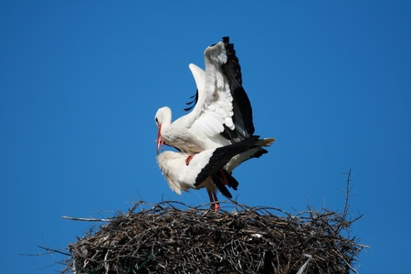 stork couples performing intercourse on her nest with a blue sky background