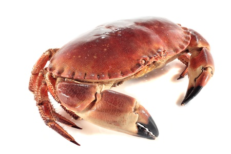 fresh and juicy freshly cooked crab isolated on white photo