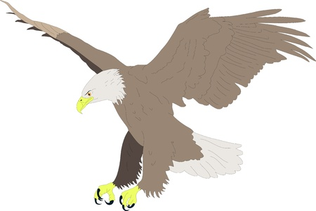 eagle feather: vector drawing colored bald eagle hunting in aggressive