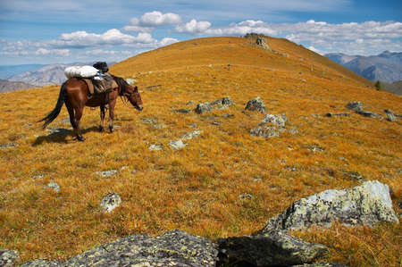 altay: horse on the mountain, ALtay