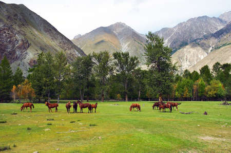 altay: Green field, mountains and horses, Altay