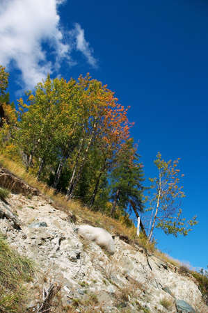 altay: mountainside, trees and blue sky. Altay Stock Photo
