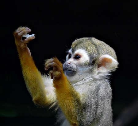 sciureus: Praying Monkey - Saimiri Sciureus
