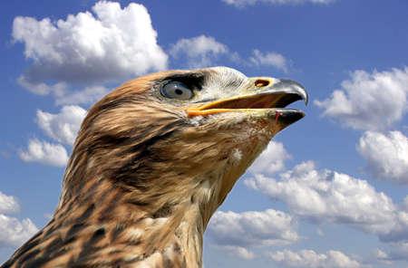 milvus: Red Kite Juvenile - Milvus Milvus Stock Photo