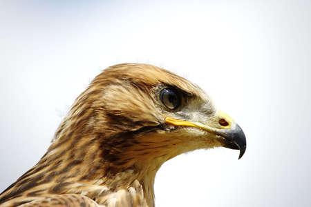 milvus: Red Kite - Milvus milvus Stock Photo