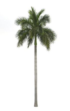 Royal palm isolated on white