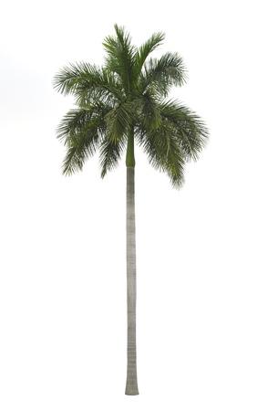 Royal palm isolated on white  photo
