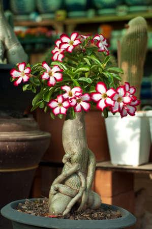 obesum: Pink Flower, Adenium obesum tree, Desert Rose Stock Photo