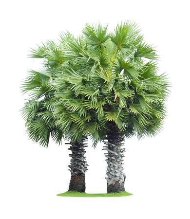 cambodian palm: Due flabellifer Borassus (Asian Palmyra palma, toddy palma, zucchero di palma, o di palma cambogiano) isolato su sfondo bianco