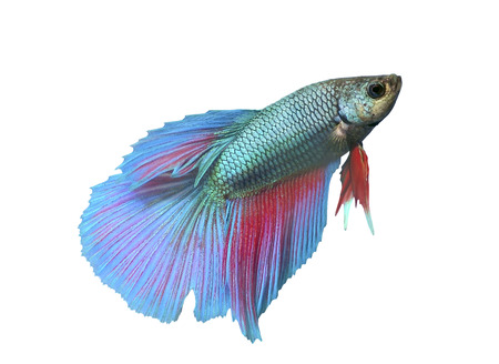 Fighting fish isolated photo