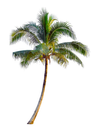 Coconut tree isolated on white background Standard-Bild