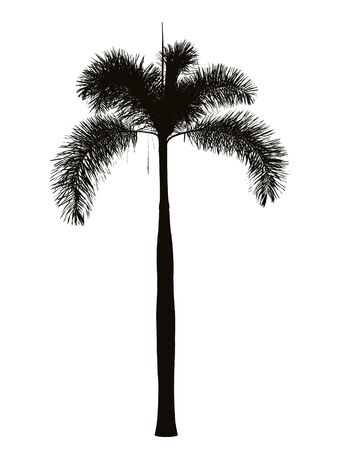 Foxtail palm silhouette photo