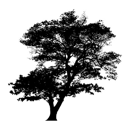 Rain tree silhouette