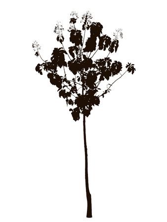 teak: Teak tree silhouette : vector