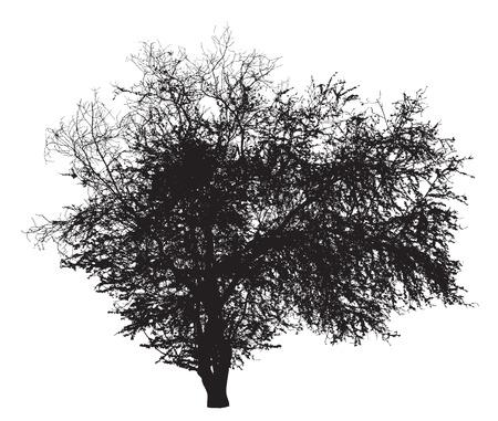 나무 실루엣 : Ziziphus의 mauritiana