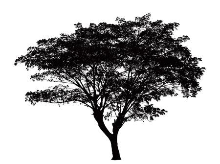 arboles blanco y negro: Silueta del árbol: Samanea saman