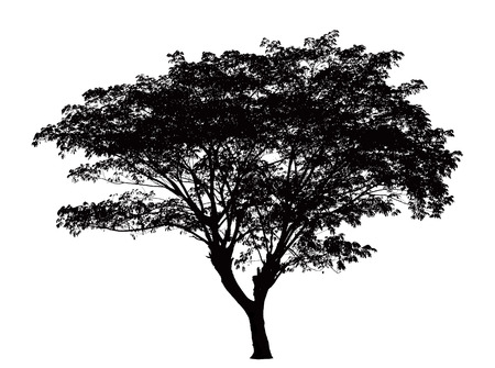 single tree: Tree silhouette : Samanea saman