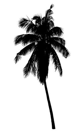 코코넛 야자수 실루엣 : 벡터