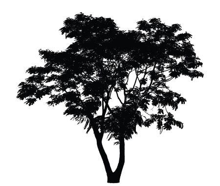 arboles blanco y negro: Silueta del �rbol: Caesalpinia pulcherrima Vectores