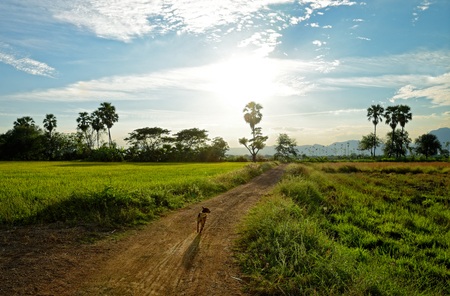 filed: Filed rice and the dog on country road  : Thailand