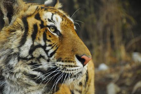face close up: Close up tiger face profile