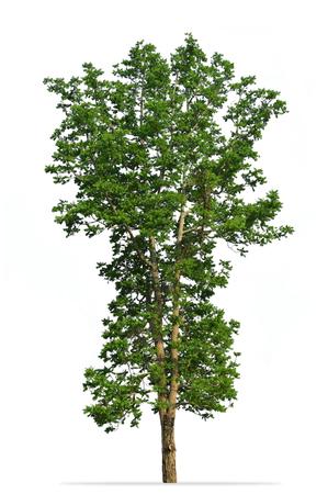 Tree isolated on white background : Toona Ciliata M.Roem [Cedrela toona Roxb.]