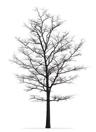 Tree without leaf isolated on white background
