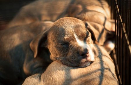 Group of puppy sleeping (American Pit Bull Terrier) : Closeup Standard-Bild
