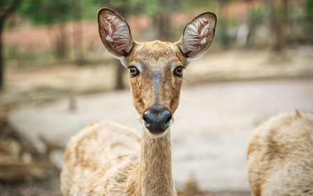 Deer looking directly at the camera : Closeup