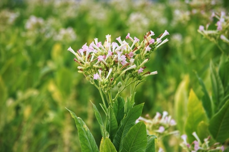 Tobacco flowers in field : Close up Imagens