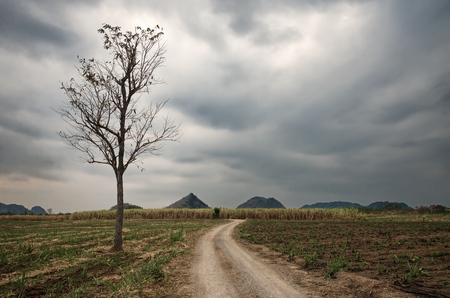 Big naked tree and country path through the fields : Thailand Standard-Bild