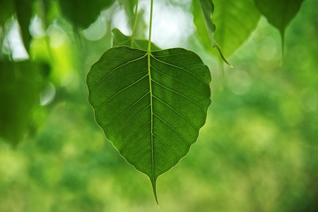 Bodhi tree leaves on nature background 스톡 콘텐츠 - 107238443