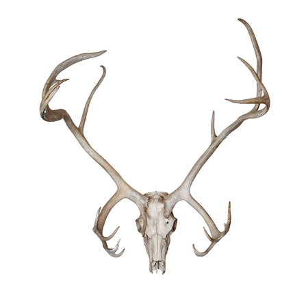 Deer skull isolated on white background Imagens