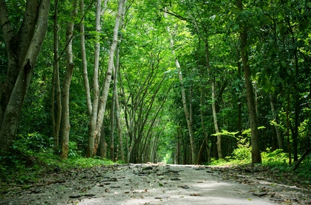 Walkway lane path with Green trees in forest background