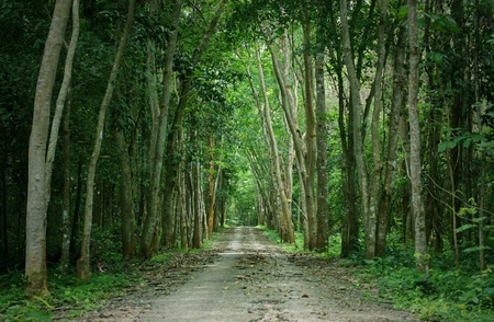 Walkway lane path with tall trees in forest : Thailand