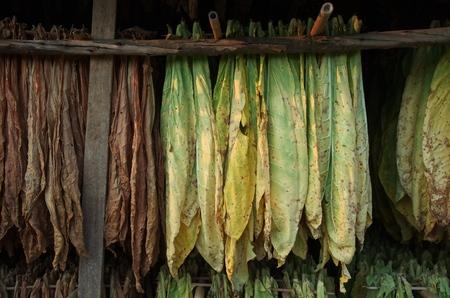 Tobacco leaves drying in barn : Closeup