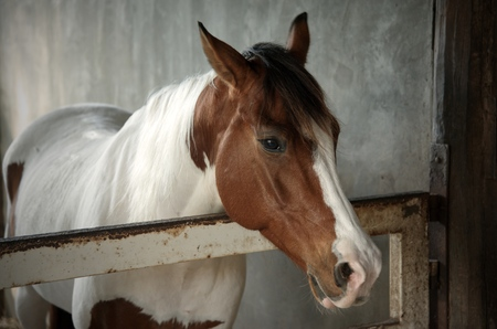 White and brown horse in the stable : Close up