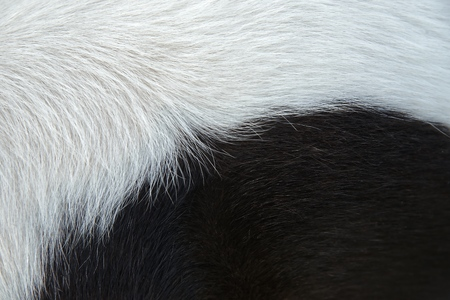 Black and white fur background : Closeup