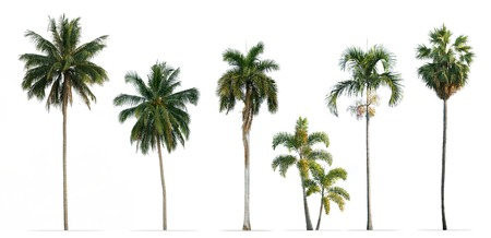 Collection of Palm trees isolated on white background 스톡 콘텐츠 - 107238318