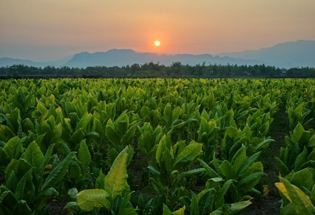 Tobacco field and mountain at sunset background : Lom Sak, Phetchabun, Thailand