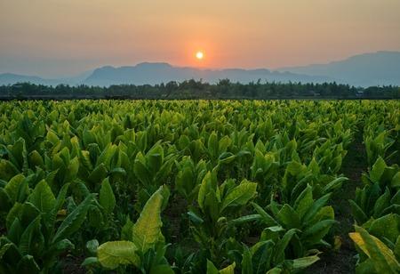 Tobacco field and mountain at sunset background : Lom Sak, Phetchabun, Thailand 스톡 콘텐츠 - 107238351