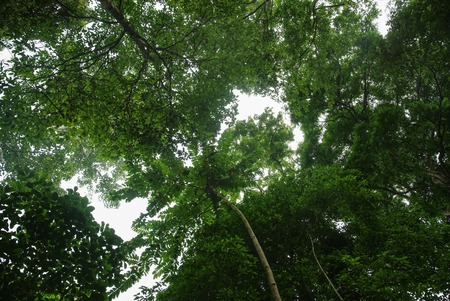 Look up under view the trees in tropical rain forest : Thailand