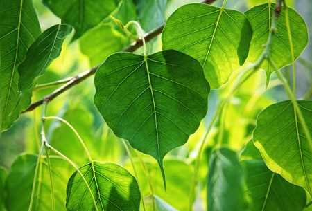 Bodhi tree leaves on nature background