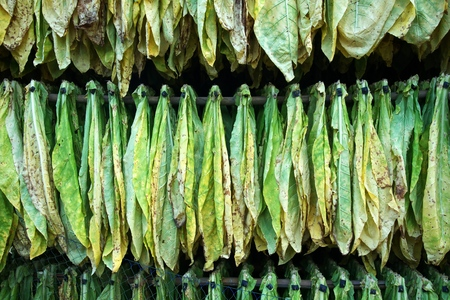 Tobacco leaves drying in barn 스톡 콘텐츠