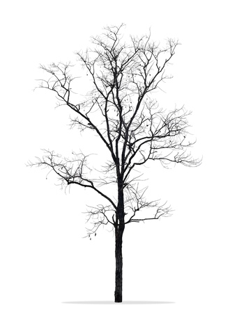 Dead tree without leaves  isolated white background