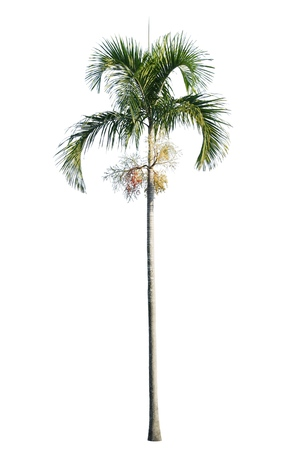 Manila palm, Christmas palm tree ( Veitchia merrillii ) isolated on white background