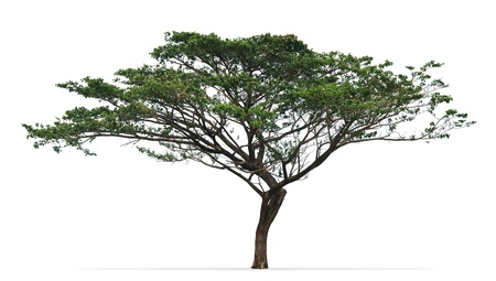 Rain tree (Albizia saman) isolated on white background