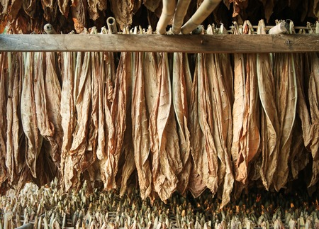 Tobacco leaves drying in the shed : Closeup Imagens